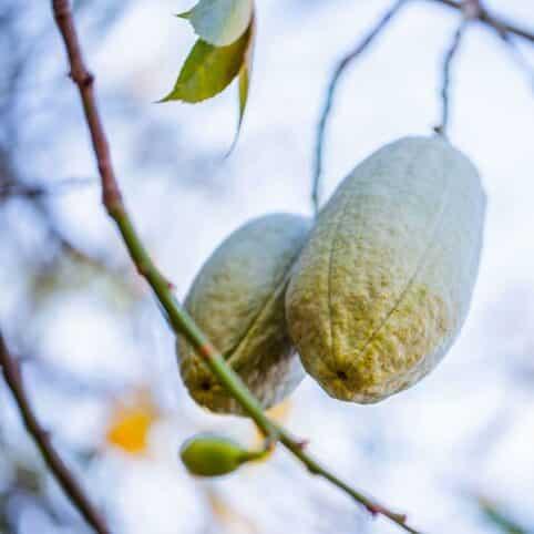 baobab propiedades nutricionales