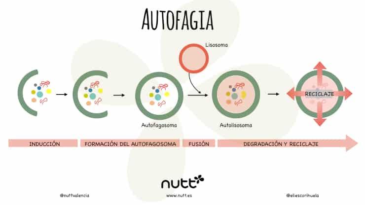 Autofagia ayuno dieta nutricionista